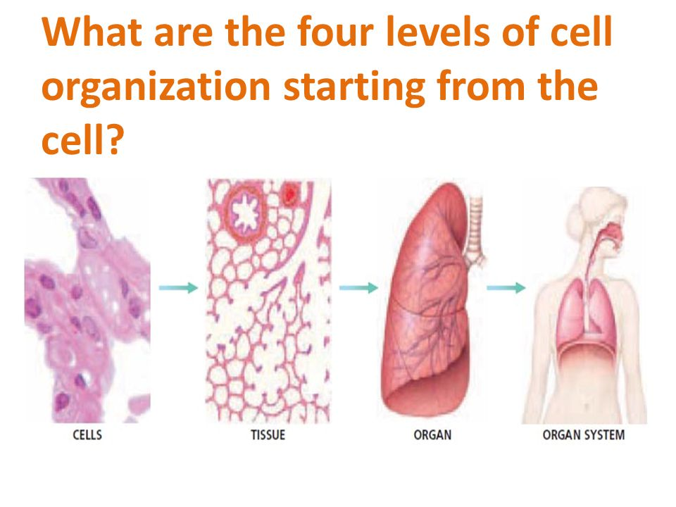 What are the four levels of cell organization starting from the cell?