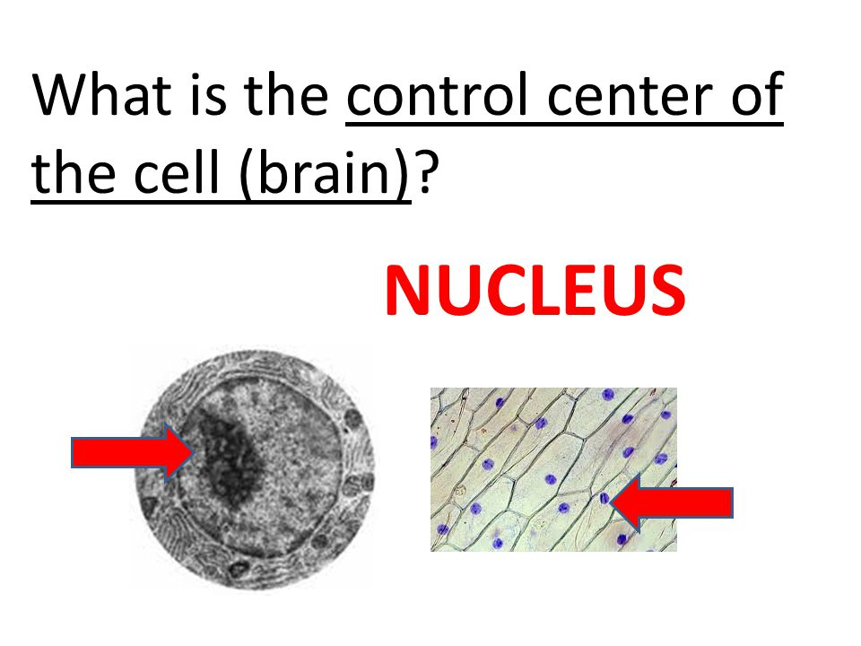 What is the control center of the cell (brain)? NUCLEUS