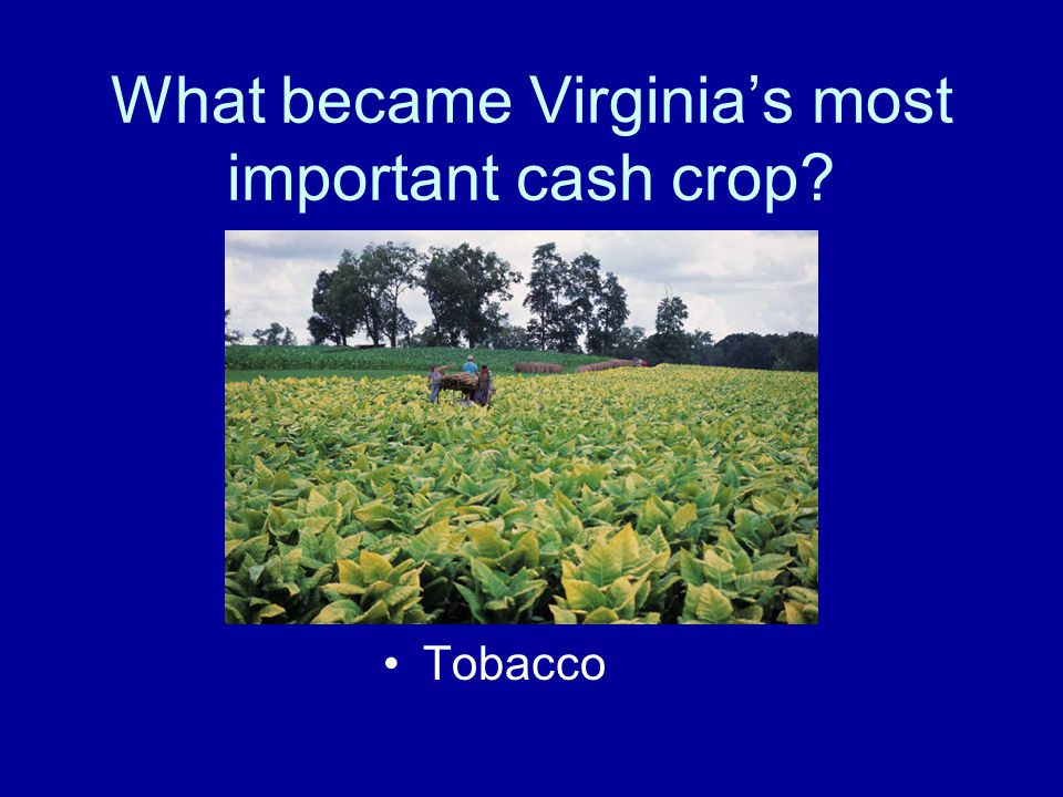 What became Virginia's most important cash crop? Tobacco