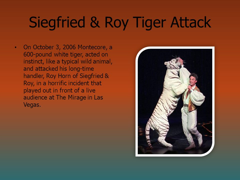 Siegfried & Roy Tiger Attack On October 3, 2006 Montecore, a 600-pound white tiger, acted on instinct, like a typical wild animal, and attacked his long-time handler, Roy Horn of Siegfried & Roy, in a horrific incident that played out in front of a live audience at The Mirage in Las Vegas.