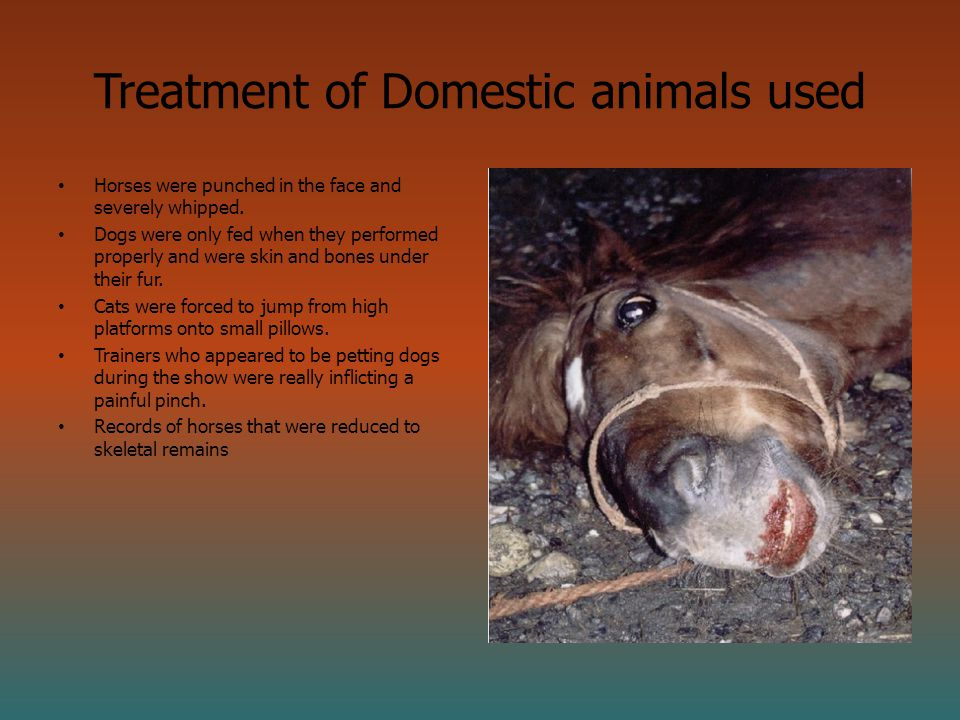 Treatment of Domestic animals used Horses were punched in the face and severely whipped.