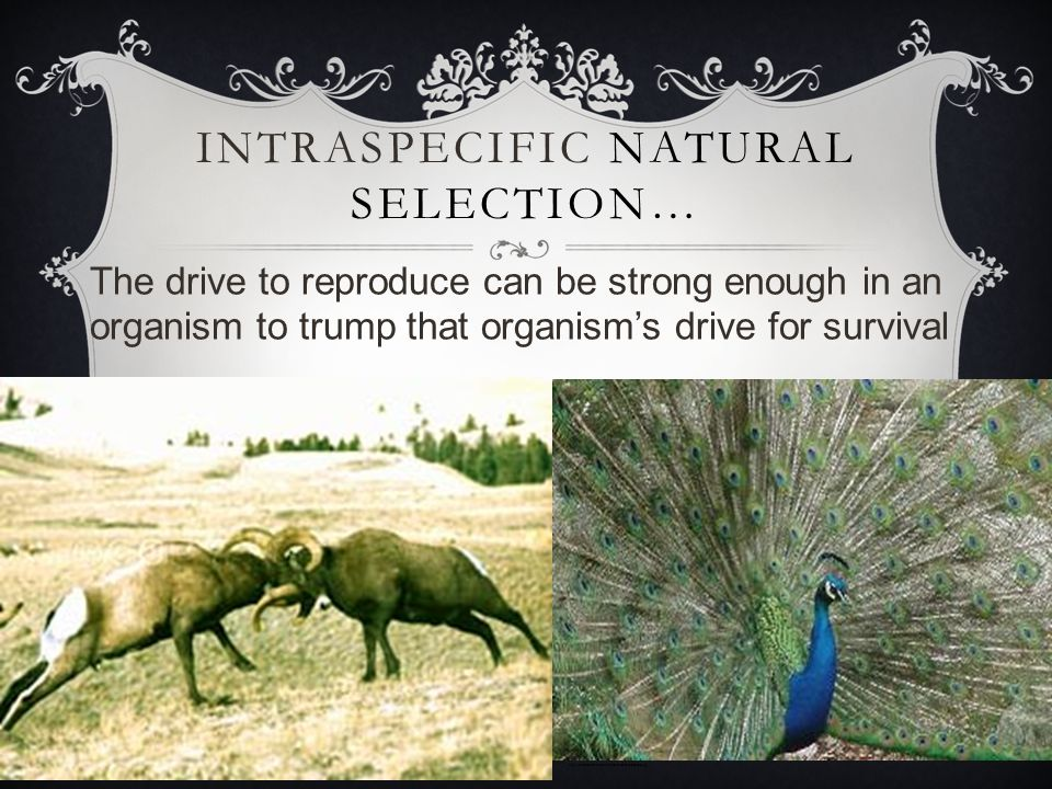 The drive to reproduce can be strong enough in an organism to trump that organism's drive for survival INTRASPECIFIC NATURAL SELECTION… http://scienceforfamilies.allinfo-about.com/zoo/peacock.jpg http://www.gerrymkaye.org/rams.jpg