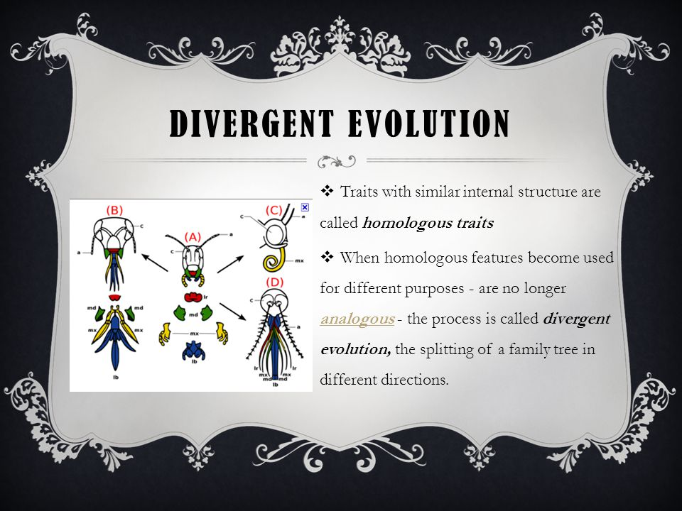 DIVERGENT EVOLUTION  Traits with similar internal structure are called homologous traits  When homologous features become used for different purposes - are no longer analogous - the process is called divergent evolution, the splitting of a family tree in different directions.