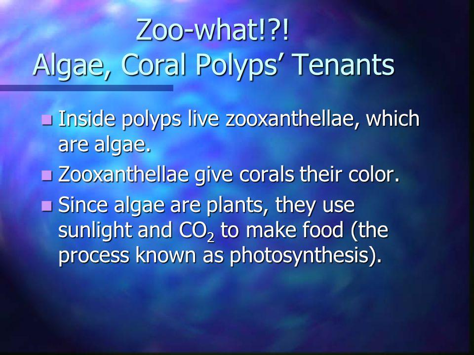 Zoo-what!?. Algae, Coral Polyps' Tenants Inside polyps live zooxanthellae, which are algae.