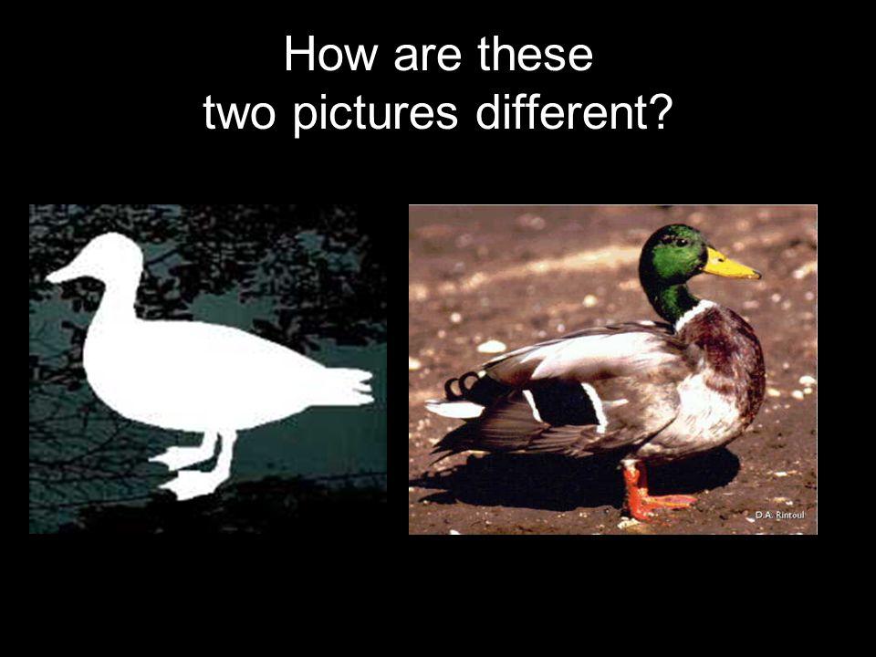 What can a mallard duck do?