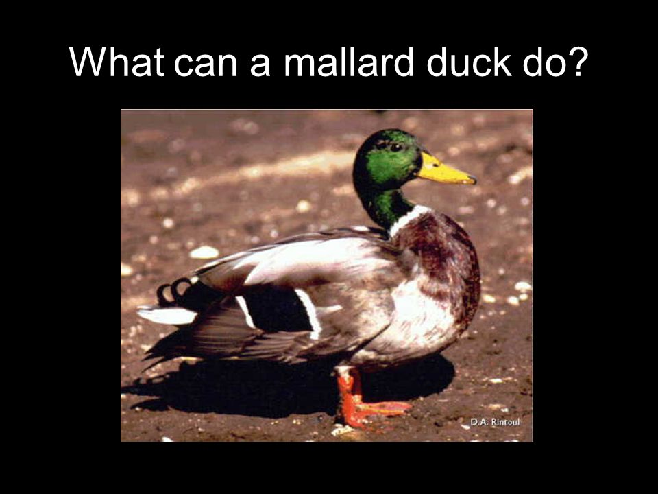 What can a mallard duck do