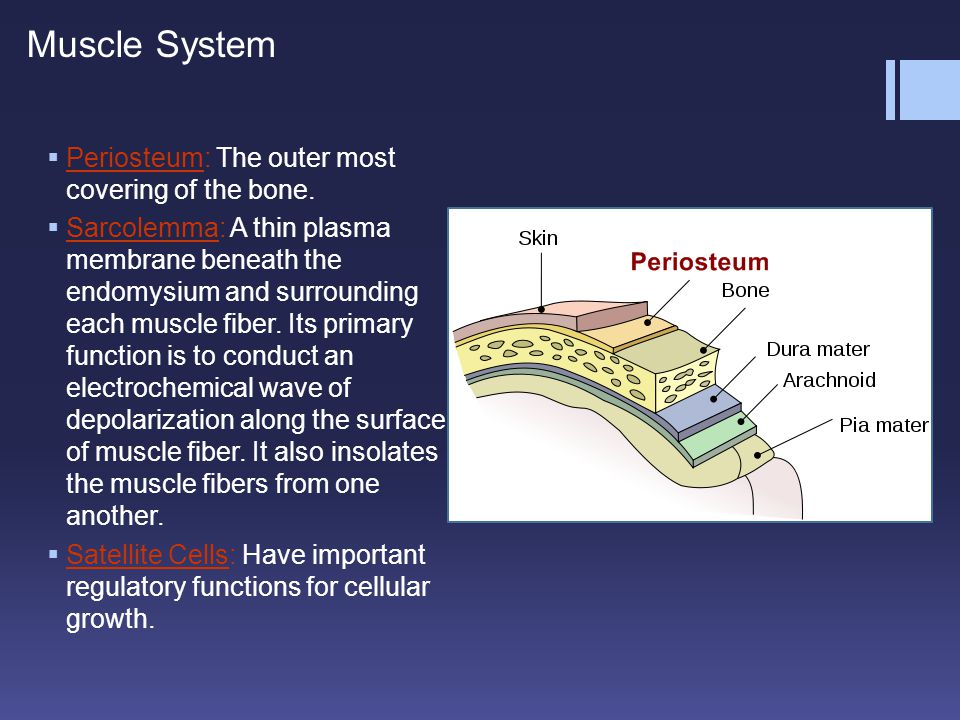  Periosteum: The outer most covering of the bone.  Sarcolemma: A thin plasma membrane beneath the endomysium and surrounding each muscle fiber. Its