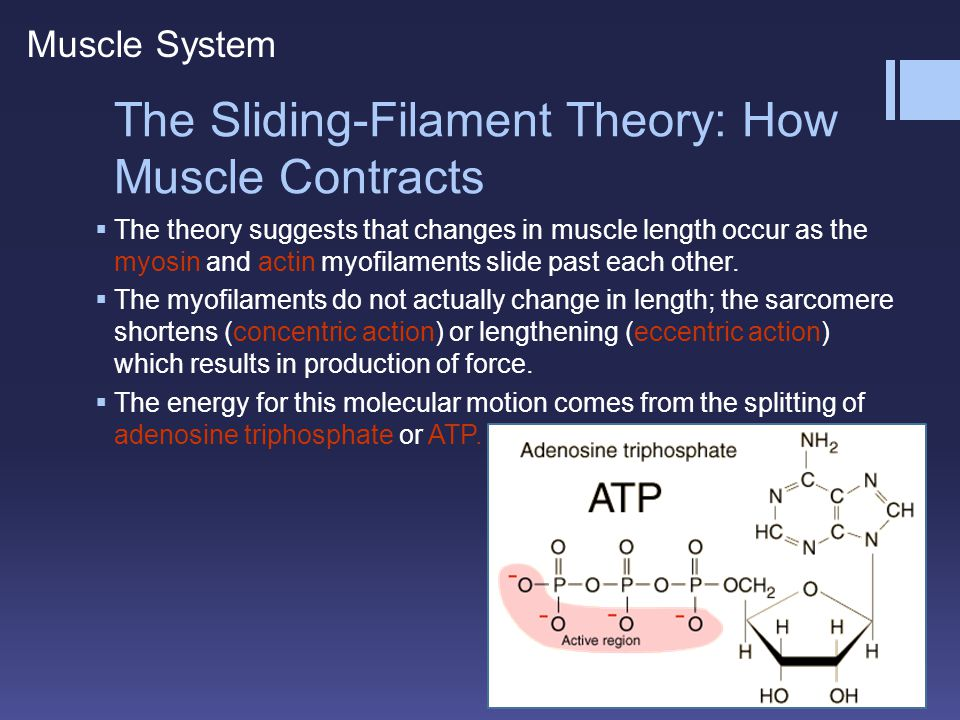 The Sliding-Filament Theory: How Muscle Contracts Muscle System  The theory suggests that changes in muscle length occur as the myosin and actin myof