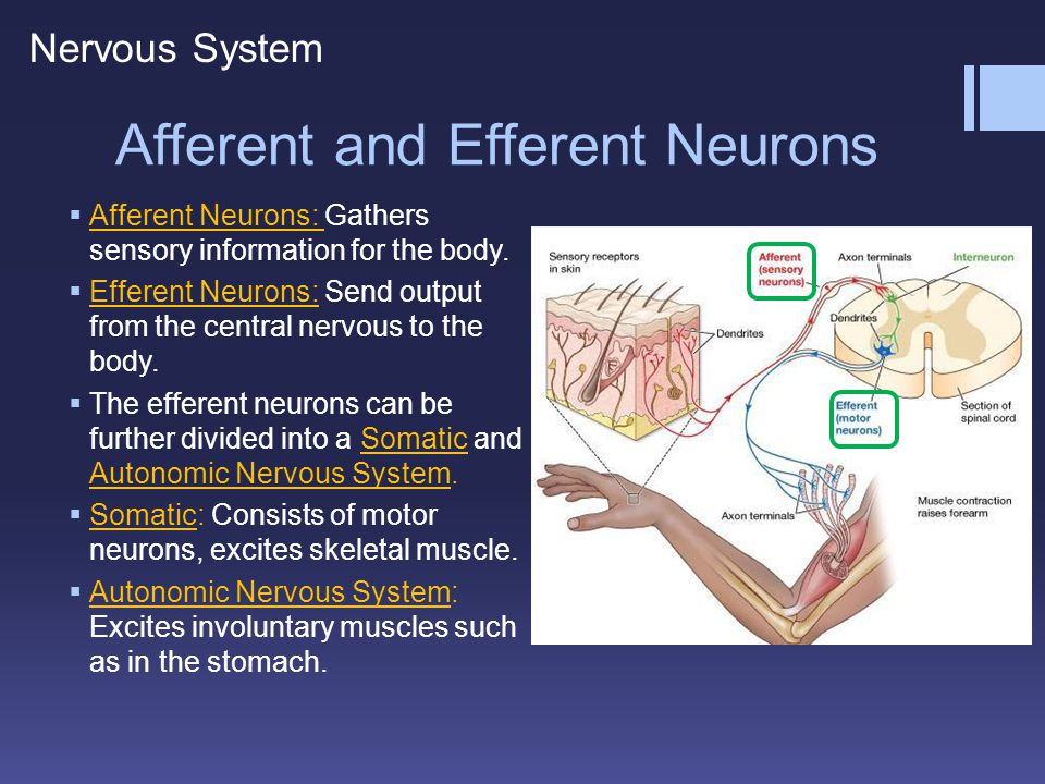 Afferent and Efferent Neurons  Afferent Neurons: Gathers sensory information for the body.  Efferent Neurons: Send output from the central nervous t