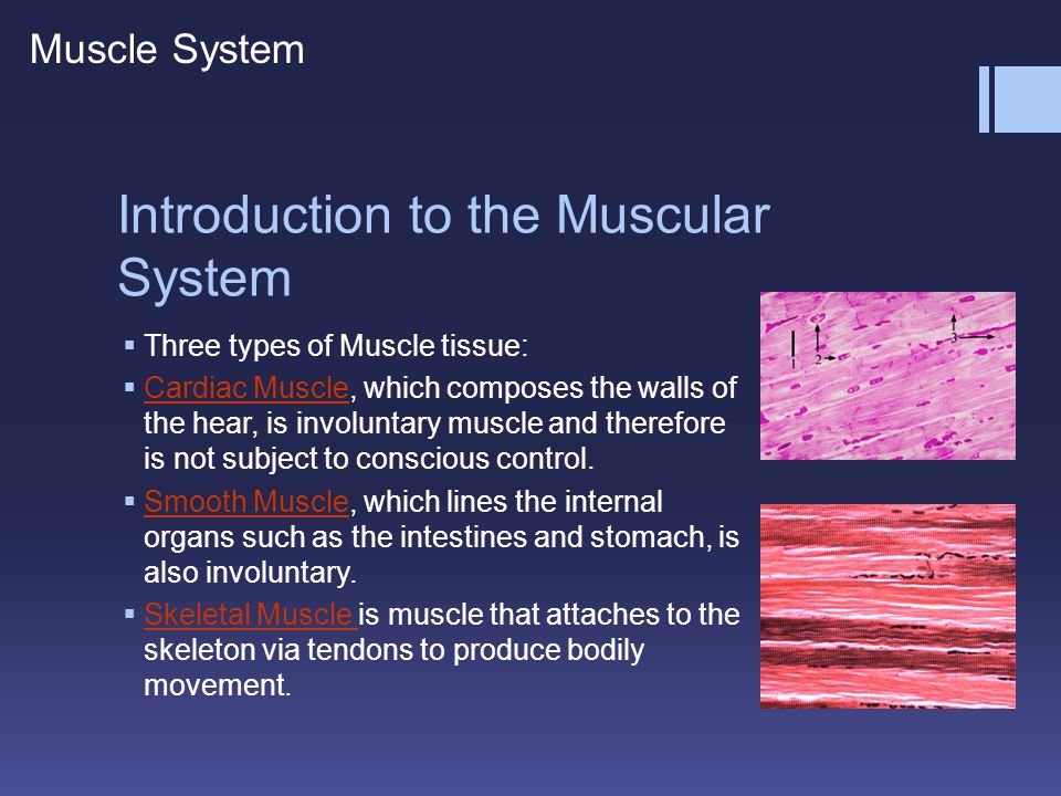 Introduction to the Skeletal Muscle  Agonist: is the muscle that initiates the desired movement.