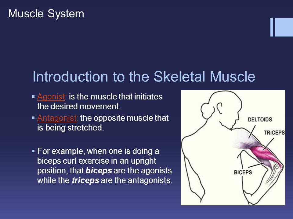 Explanations  A: Rapid muscle length change, Increase in muscle tension  Page 14 – Muscle spindles provide sensory feedback concerning the length change and the speed of length change of muscle fibers.