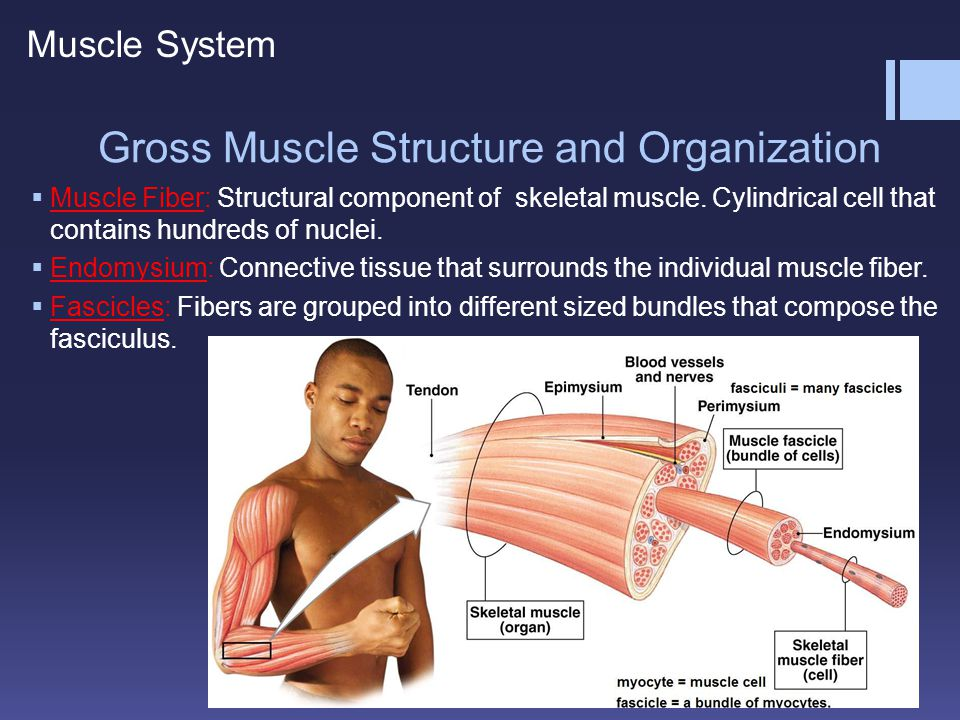 Initiation of a Muscle Action  Action Potential is a message sent from a motor neuron to a muscle cell that tells it to act.