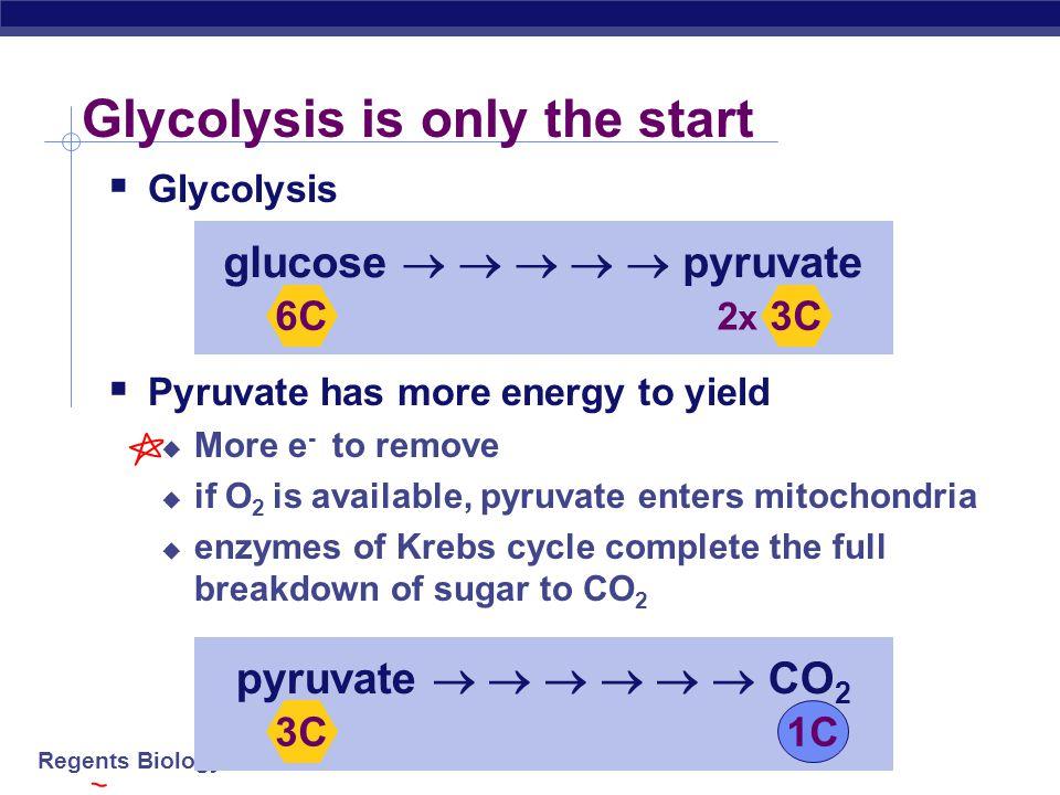 Regents Biology Pyruvate is a branching point Pyruvate O2O2 O2O2 mitochondria Krebs cycle aerobic respiration fermentation