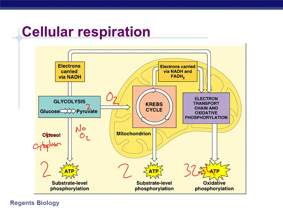 Regents Biology pyruvate       CO 2 Glycolysis is only the start  Glycolysis  Pyruvate has more energy to yield  More e - to remove  if O 2