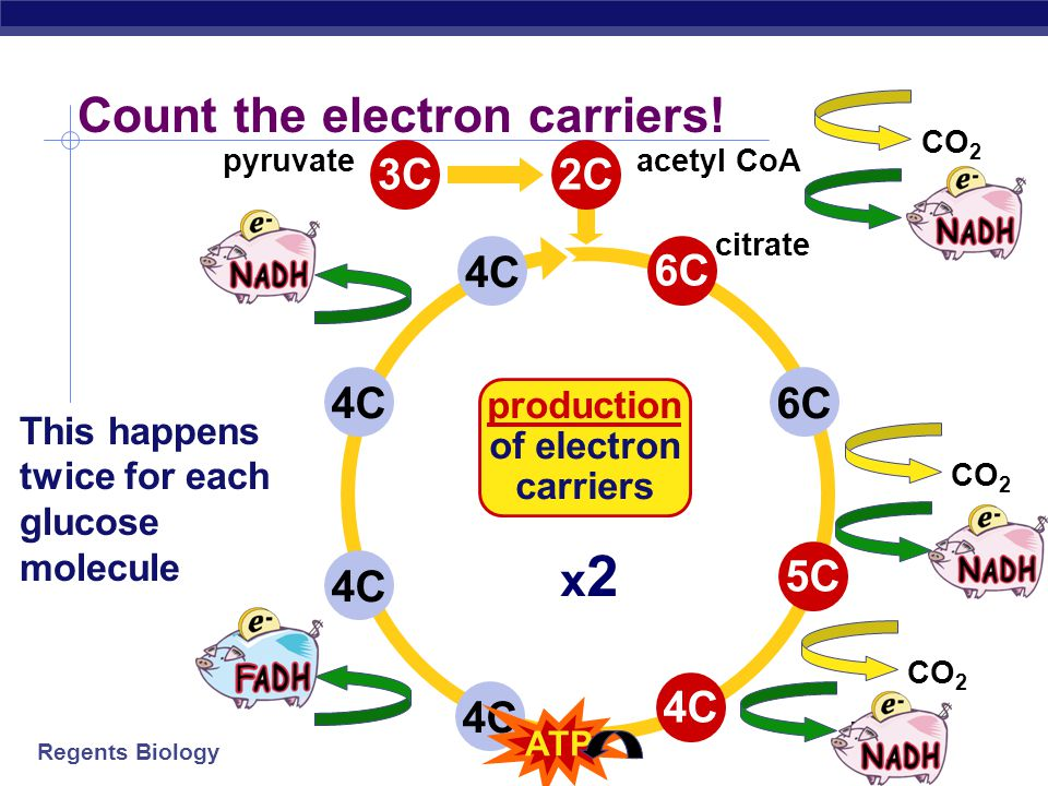 Regents Biology 4C6C4C 2C6C5C4C CO 2 citrate acetyl CoA Count the carbons! 3C pyruvate x2x2 breakdown of sugars This happens twice for each glucose mo