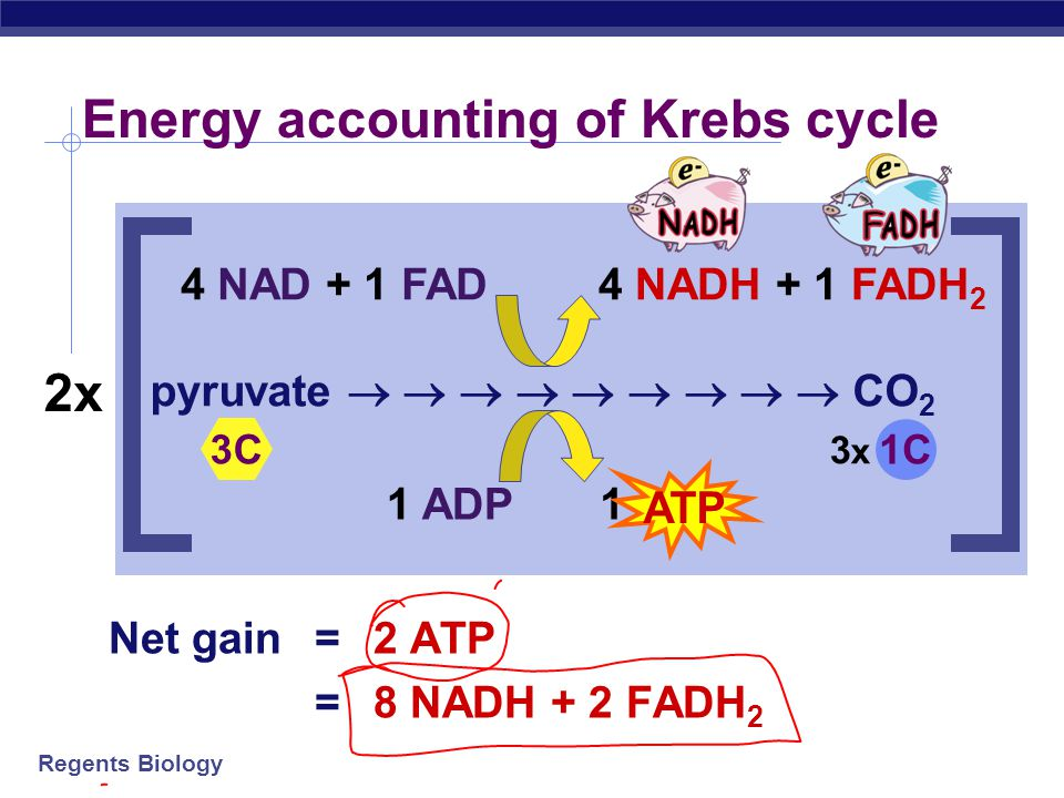 Regents Biology  Krebs cycle produces large quantities of electron carriers  NADH  FADH 2  go to Electron Transport Chain! Electron Carriers H+H+