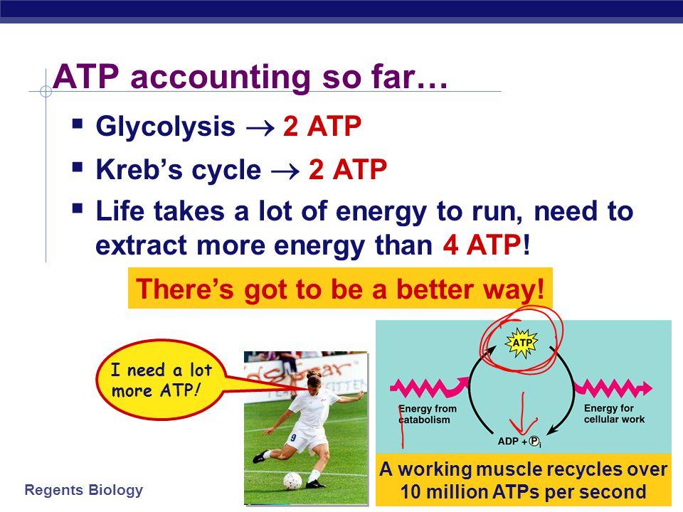 Regents Biology Energy accounting of Krebs cycle Net gain=2 ATP =8 NADH + 2 FADH 2 1 ADP1 ATP ATP 2x 4 NAD + 1 FAD4 NADH + 1 FADH 2 pyruvate     