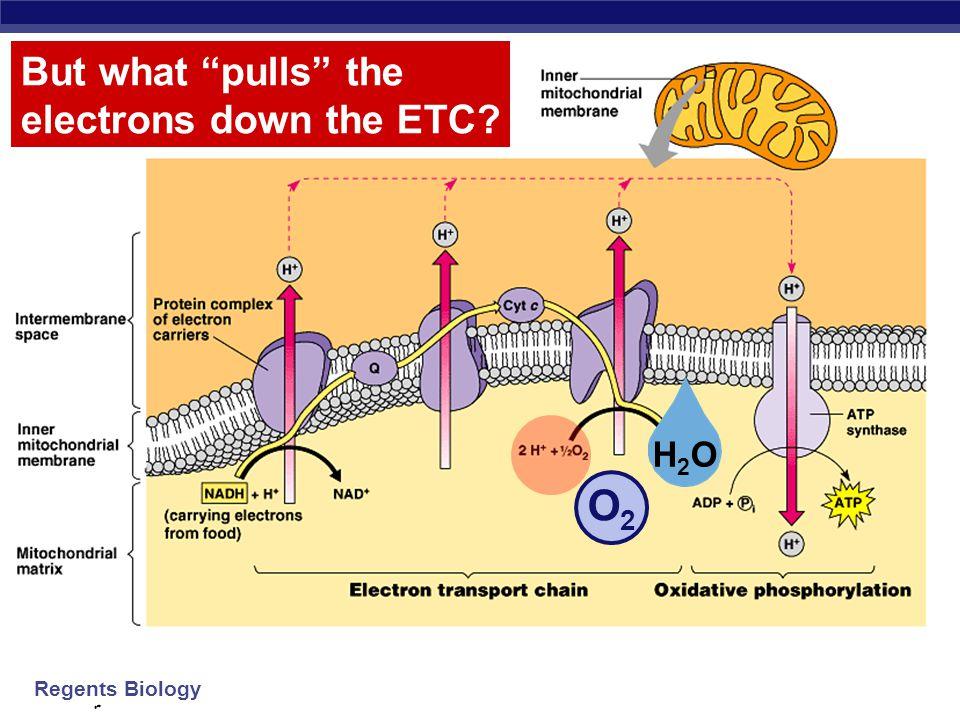 Regents Biology Electron Transport Chain intermembrane space mitochondrial matrix inner mitochondrial membrane NAD + Q C NADH H 2 O H+H+ e–e– 2H + +O2