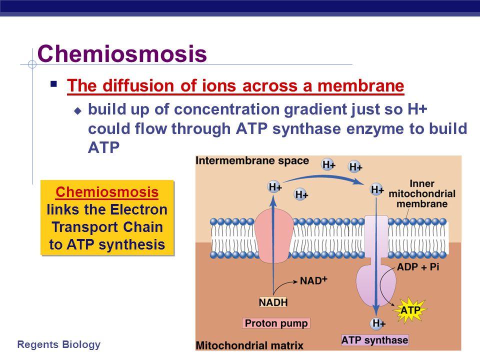 Regents Biology H+H+ ADP + P i H+H+ H+H+ H+H+ H+H+ H+H+ H+H+ H+H+ H+H+ We did it! ATP  Set up a H + gradient  Allow the protons to flow through ATP