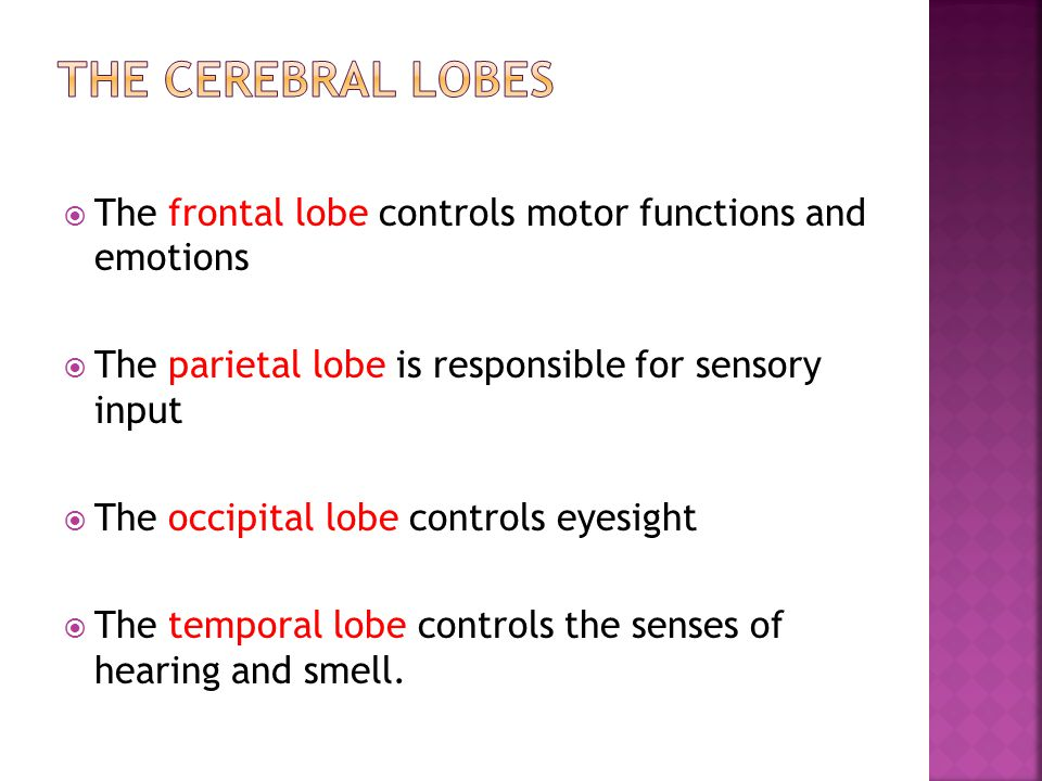  The frontal lobe controls motor functions and emotions  The parietal lobe is responsible for sensory input  The occipital lobe controls eyesight 
