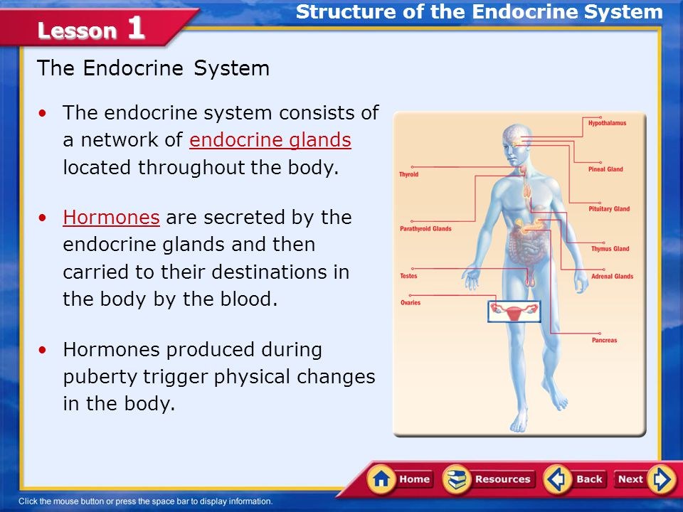 Lesson 1 Describe the glands of the endocrine system and the function of each Examine the effects of health behaviors on the endocrine system In this lesson, you will learn to: Lesson Objectives