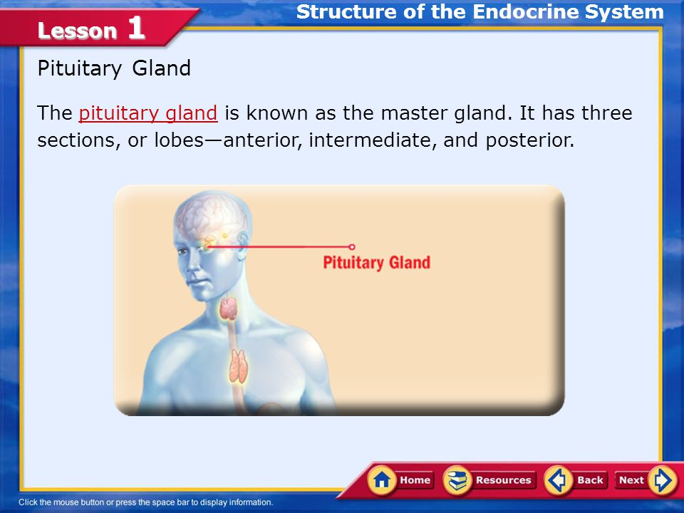 Lesson 1 Some Glands of the Endocrine System Thyroid gland Parathyroid glands Hypothalamus Pineal Gland Testes and Ovaries Thymus Gland Pancreas Structure of the Endocrine System