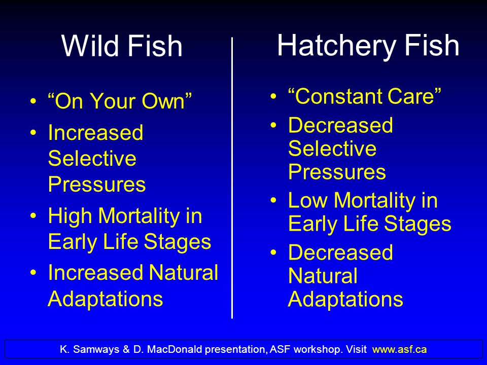 Wild Fish On Your Own Increased Selective Pressures High Mortality in Early Life Stages Increased Natural Adaptations Hatchery Fish Constant Care Decreased Selective Pressures Low Mortality in Early Life Stages Decreased Natural Adaptations K.