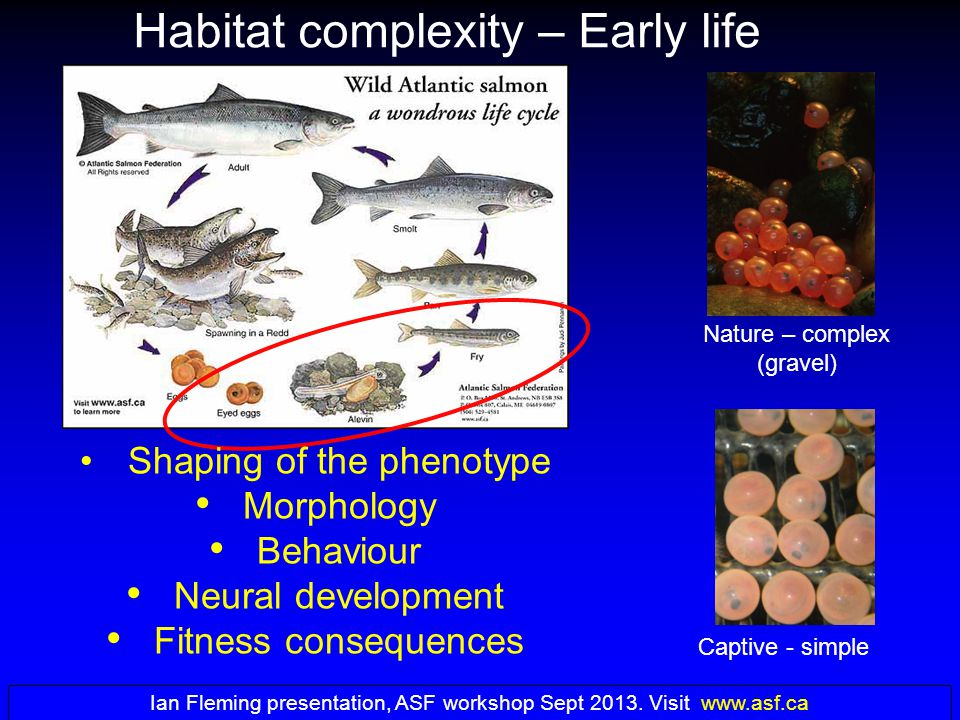 Habitat complexity – Early life Shaping of the phenotype Morphology Behaviour Neural development Fitness consequences Captive - simple Nature – complex (gravel) Ian Fleming presentation, ASF workshop Sept 2013.