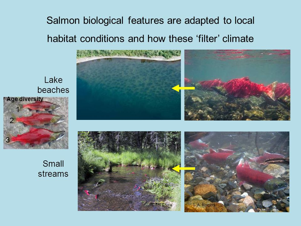 L.A. Rogers Lake beaches Small streams Salmon biological features are adapted to local habitat conditions and how these 'filter' climate 1 2 3 Age div