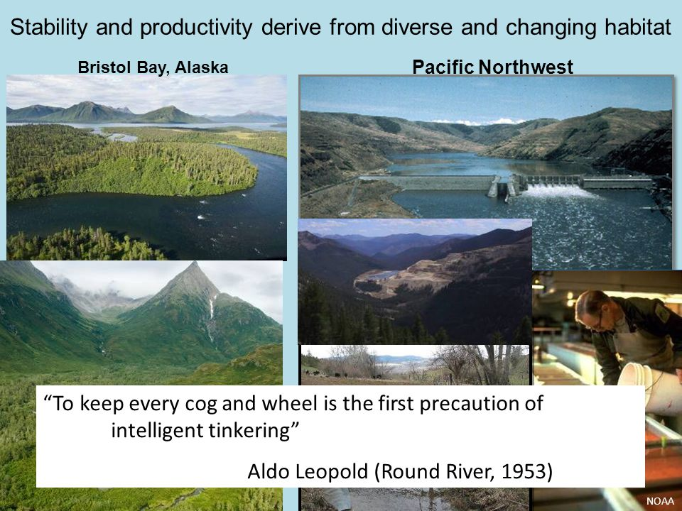 NOAA Stability and productivity derive from diverse and changing habitat Bristol Bay, Alaska Pacific Northwest To keep every cog and wheel is the first precaution of intelligent tinkering Aldo Leopold (Round River, 1953)