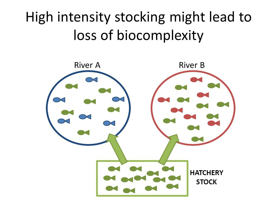 High intensity stocking might lead to loss of biocomplexity River ARiver B HATCHERY STOCK
