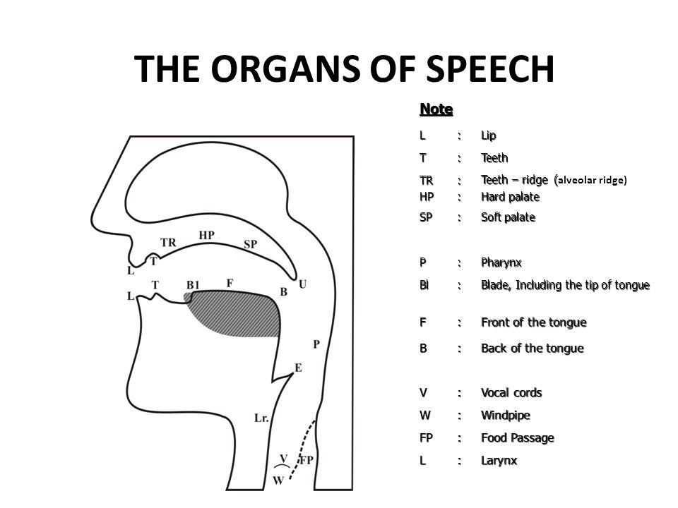 THE ORGANS OF SPEECHNoteL:Lip T:Teeth TRHP:: Teeth – ridge ( Teeth – ridge ( alveolar ridge) Hard palate SP: Soft palate P:Pharynx Bl: Blade, Includin