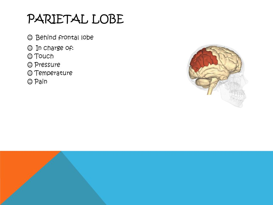 FRONTAL LOBE In the front In charge of:  Reasoning  Planning  Problem solving  Basic movements  Responses to emotional situations