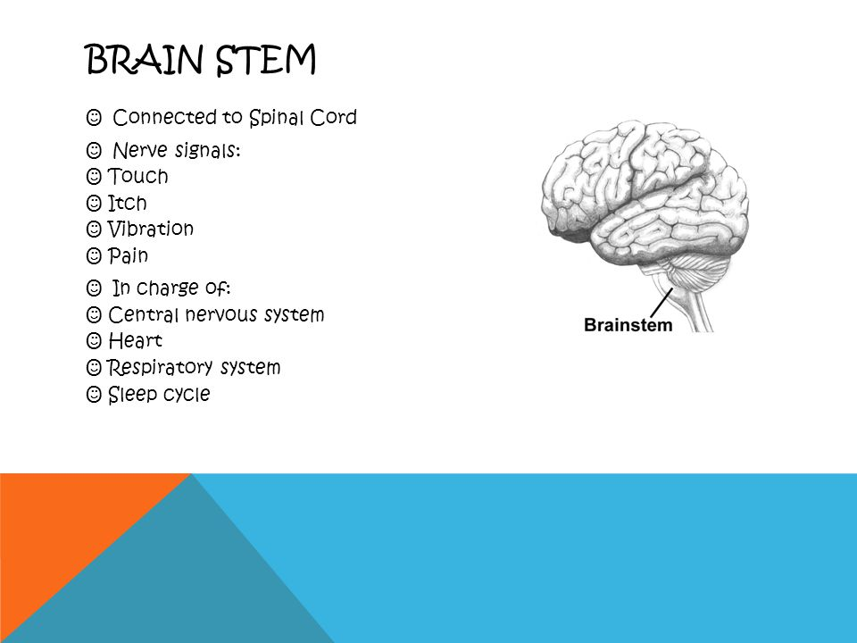 CEREBELLUM Underneath Temporal and Occipital Lobes Controls: Balance Posture Memory storage