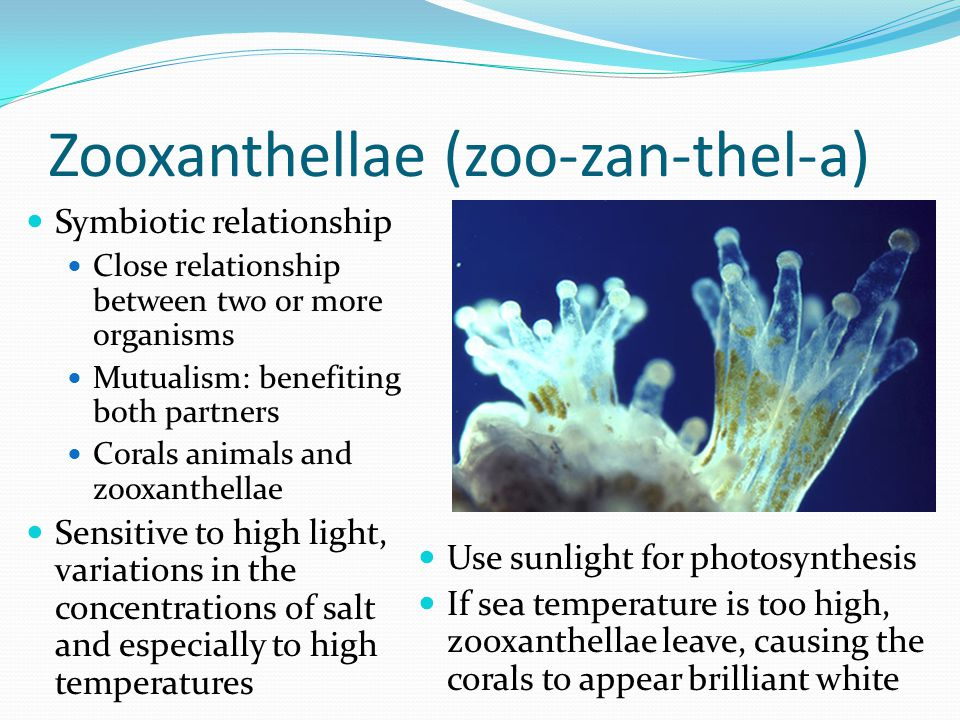 Zooxanthellae (zoo-zan-thel-a) Symbiotic relationship Close relationship between two or more organisms Mutualism: benefiting both partners Corals anim