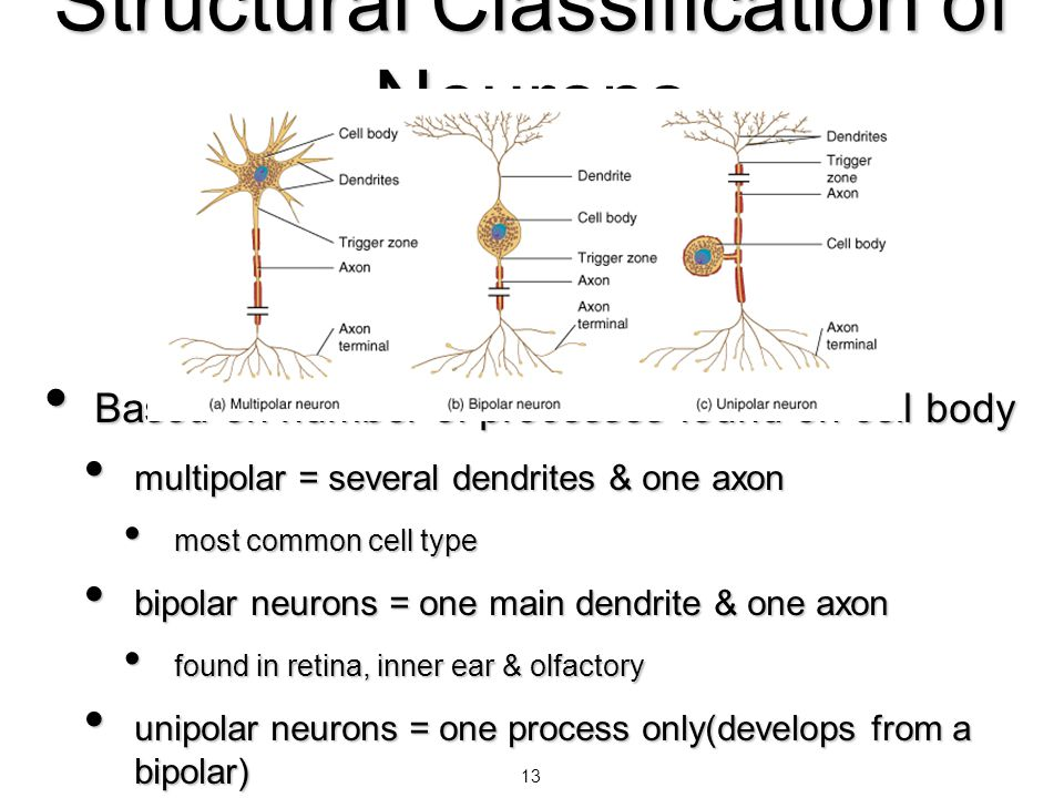 13 Structural Classification of Neurons Based on number of processes found on cell body Based on number of processes found on cell body multipolar = s