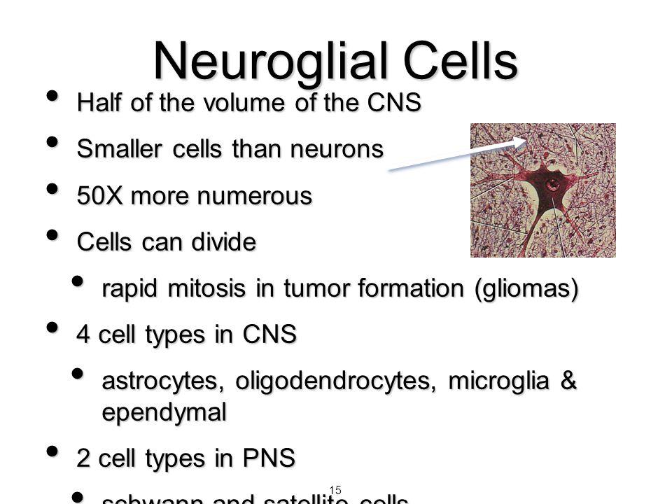 15 Half of the volume of the CNS Half of the volume of the CNS Smaller cells than neurons Smaller cells than neurons 50X more numerous 50X more numero