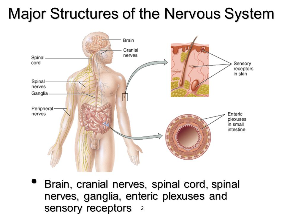 3 Organization of the Nervous System CNS is brain and spinal cord CNS is brain and spinal cord PNS is everything else PNS is everything else