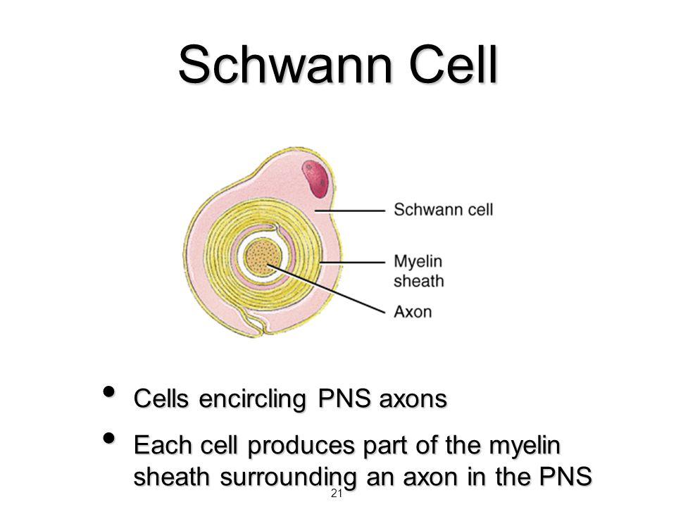 21 Schwann Cell Cells encircling PNS axons Cells encircling PNS axons Each cell produces part of the myelin sheath surrounding an axon in the PNS Each