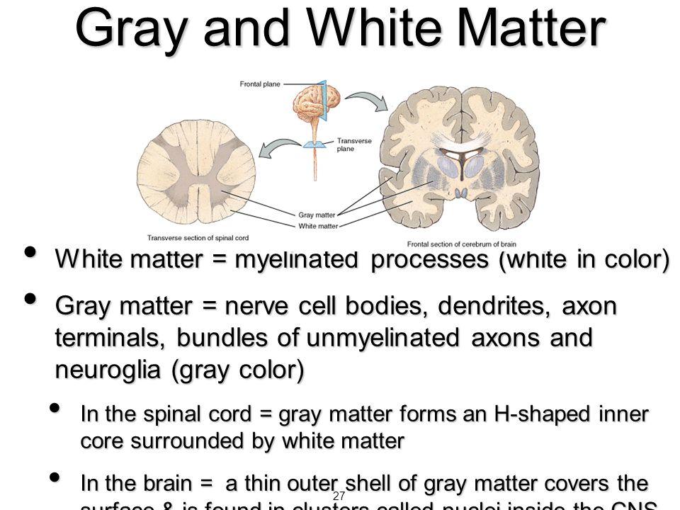 27 Gray and White Matter White matter = myelinated processes (white in color) White matter = myelinated processes (white in color) Gray matter = nerve
