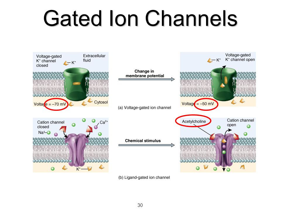 30 Gated Ion Channels