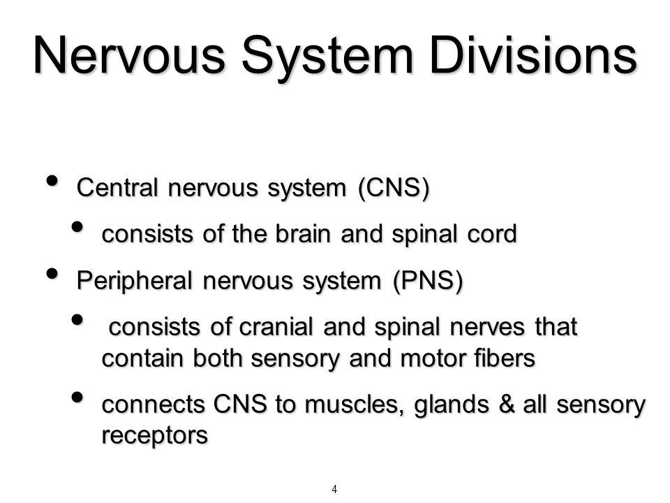 4 Nervous System Divisions Central nervous system (CNS) Central nervous system (CNS) consists of the brain and spinal cord consists of the brain and s
