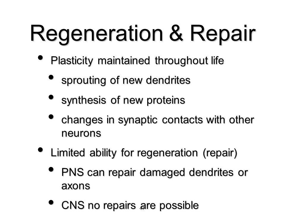 41 Regeneration & Repair Plasticity maintained throughout life Plasticity maintained throughout life sprouting of new dendrites sprouting of new dendr