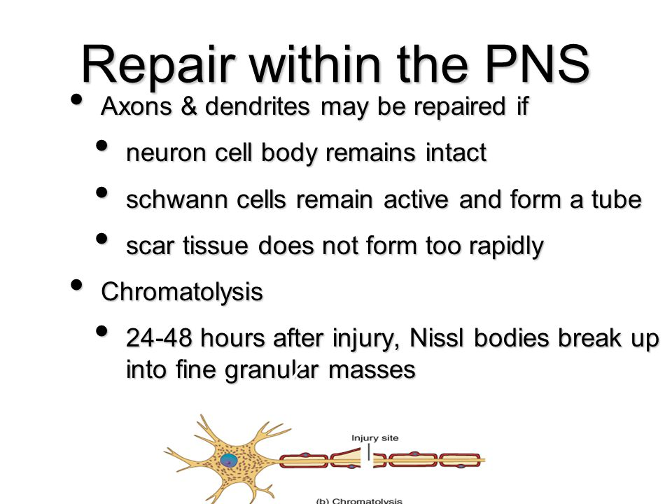 43 Axons & dendrites may be repaired if Axons & dendrites may be repaired if neuron cell body remains intact neuron cell body remains intact schwann c