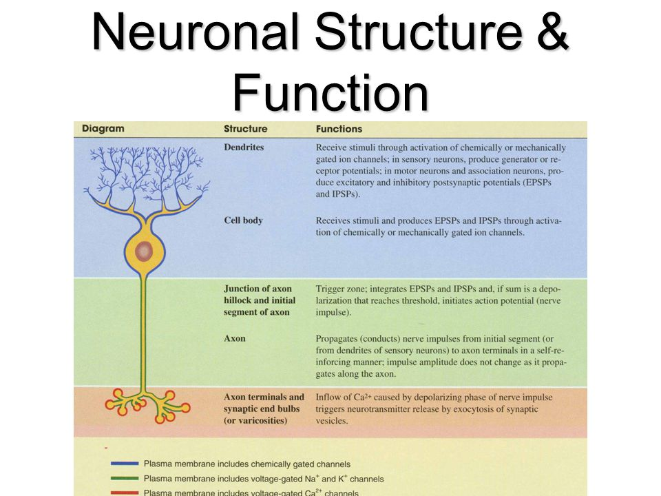 46 Neuronal Structure & Function