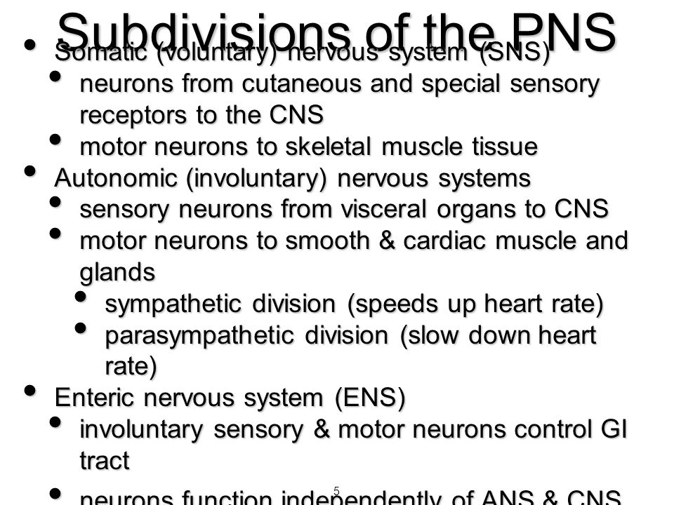 5 Subdivisions of the PNS Somatic (voluntary) nervous system (SNS) Somatic (voluntary) nervous system (SNS) neurons from cutaneous and special sensory