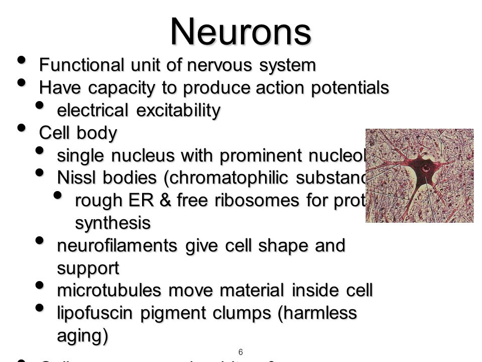 7 Nucleus with Nucleolus Parts of a Neuron Axons or Dendrites Cell body Neuroglial cells