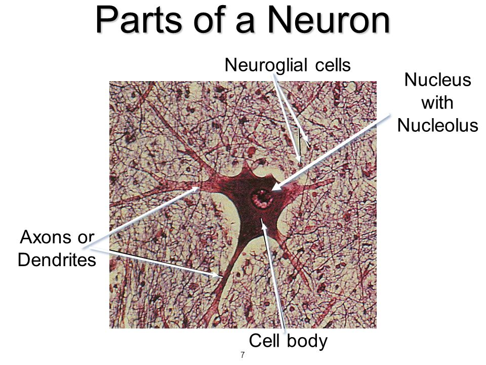 Types of Nerves  Nerves are cordlike bundles of nerve fibers held together by connective tissue layers that conduct impulses  Sensory nerves – impulses into the brain or spinal cord  Motor nerves – carry impulses to muscles or glands  Mixed nerves – include both of the above
