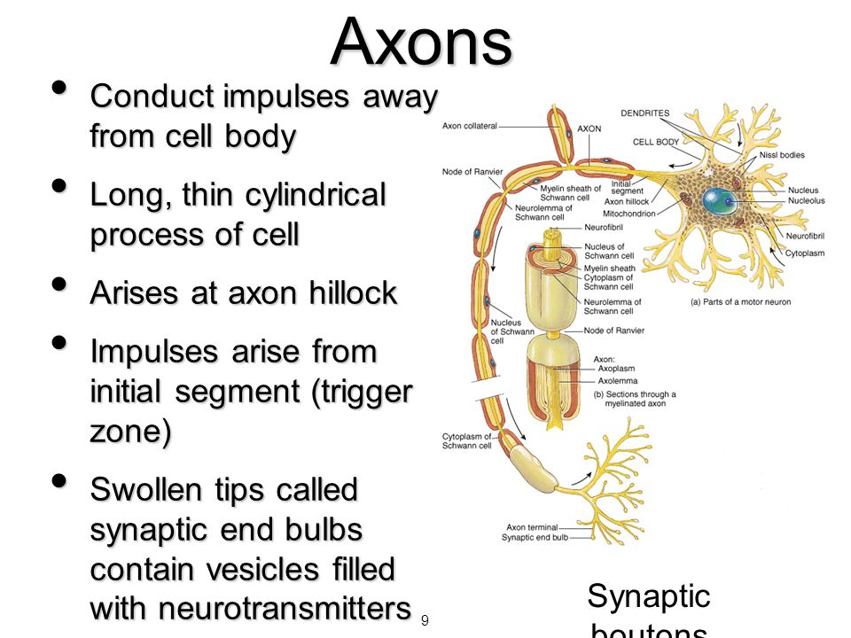 9 Axons Conduct impulses away from cell body Conduct impulses away from cell body Long, thin cylindrical process of cell Long, thin cylindrical proces
