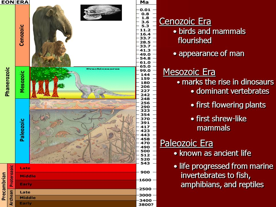 Paleozoic Era known as ancient life life progressed from marine invertebrates to fish, amphibians, and reptiles Paleozoic Era known as ancient life life progressed from marine invertebrates to fish, amphibians, and reptiles Mesozoic Era marks the rise in dinosaurs dominant vertebrates first flowering plants first shrew-like mammals Mesozoic Era marks the rise in dinosaurs dominant vertebrates first flowering plants first shrew-like mammals Cenozoic Era birds and mammals flourished appearance of man Cenozoic Era birds and mammals flourished appearance of man